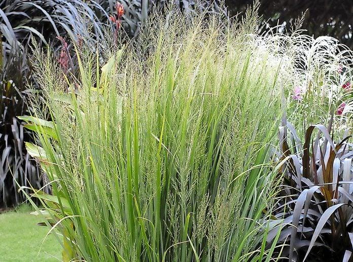 Native Plants Switchgrass Grass Panicum Northwind Garden 11048