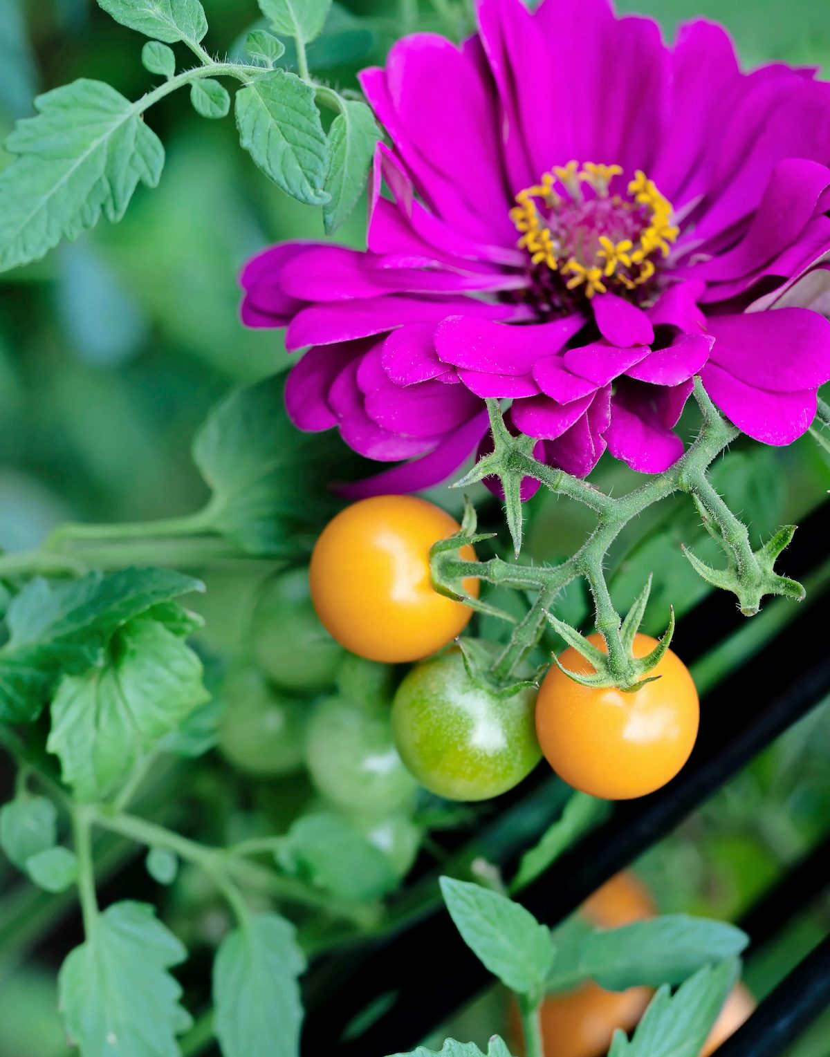 Both veggies and annuals, like this tomato and zinnia, help provide pollen for local insects.