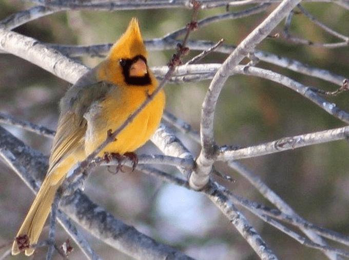 Yellow cardinal 1
