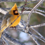 Rare Yellow Cardinal Photographed in Illinois