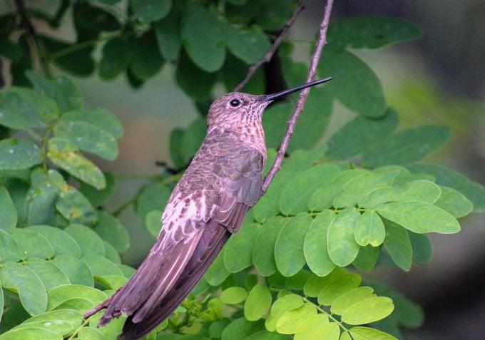 18 Top Largest hummingbird