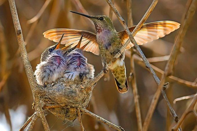 female anna's hummingbird on nest