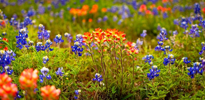 Indian paintbrushes and bluebonnets