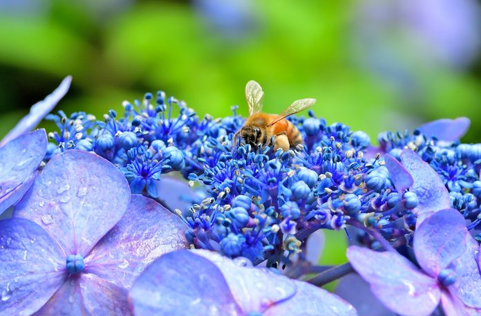Hydrangea with a Honey Bee on top.
