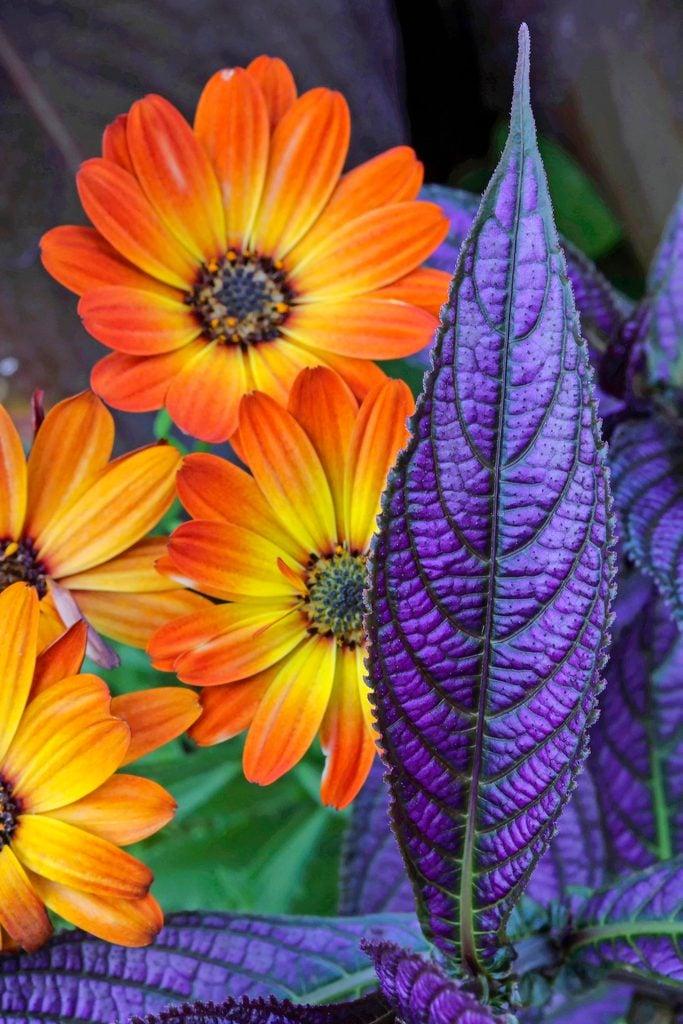 Persian shield plants