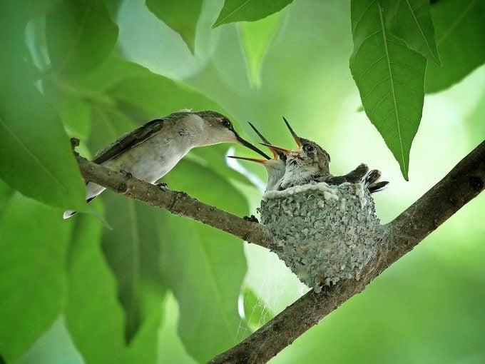 ruby throated hummingbird nest