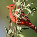 Summer Tanagers May be Hiding in Plain Sight