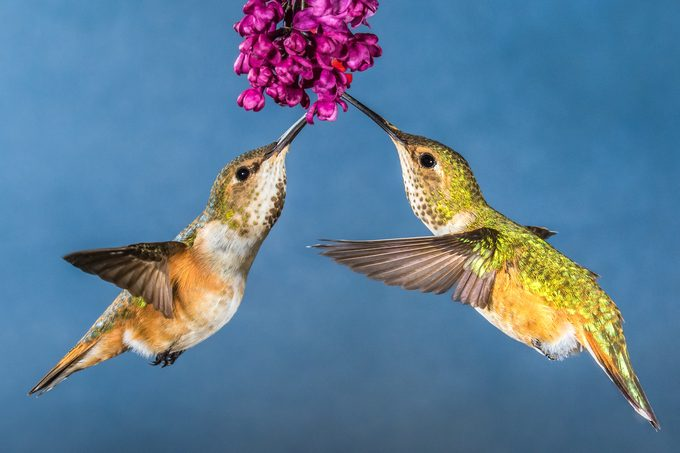 female rufous hummingbirds