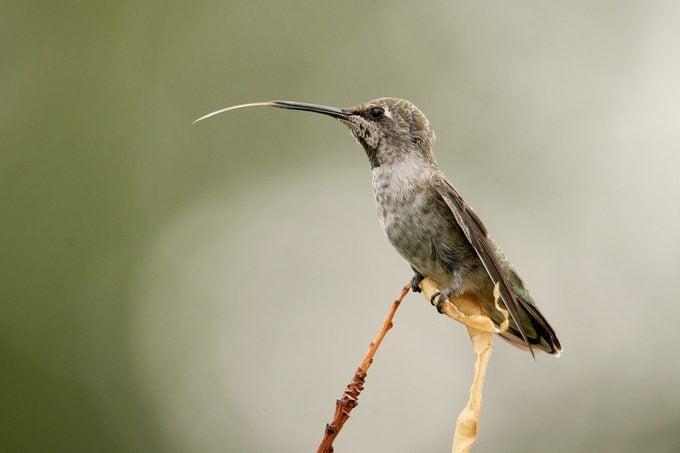 anna's hummingbird tongue