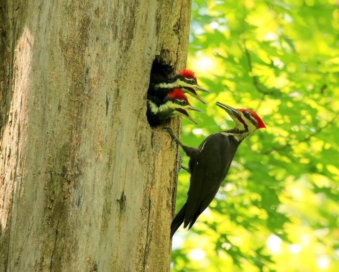 pileated woodpecker, urban birding
