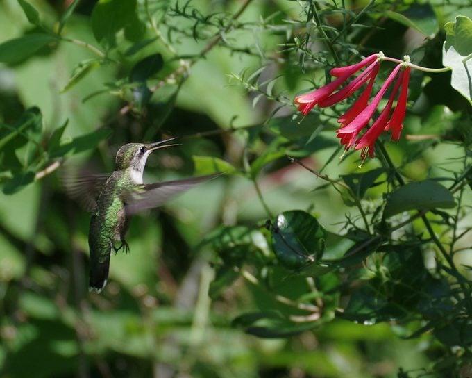 hummingbird open beak