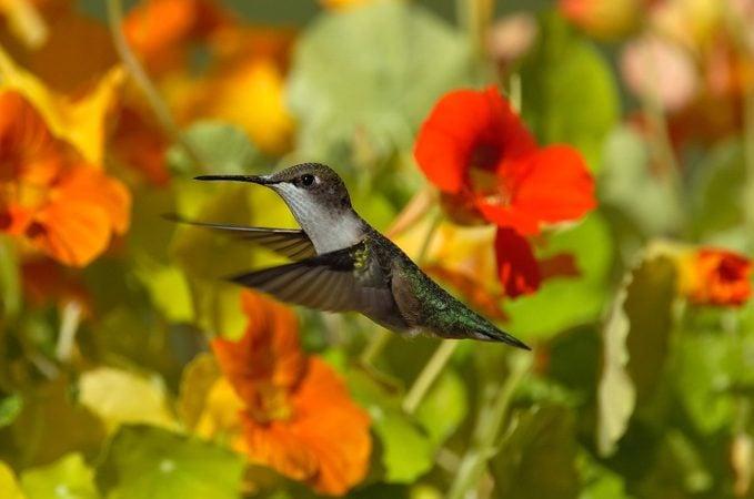 hummingbird nasturtium flowers