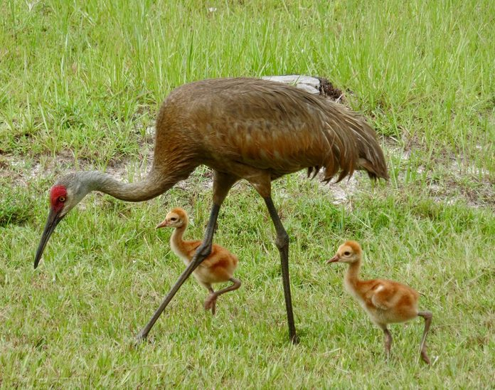 baby sandhill cranes
