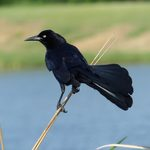 9 Pictures That Will Change the Way You Look at Black Birds