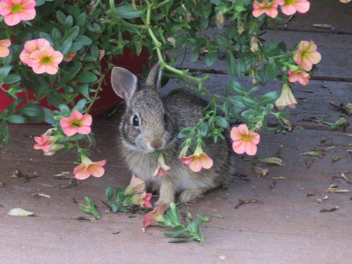 rabbit resistant flowers