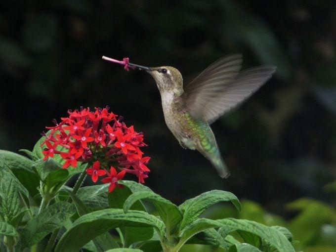 anna's hummingbird wing speed, flying