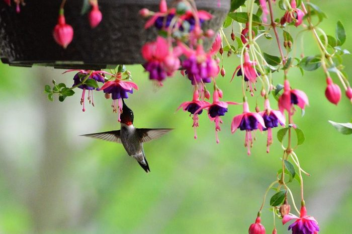 potted flowers that attract hummingbirds