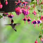 Grow Potted Flowers and Plants That Attract Hummingbirds