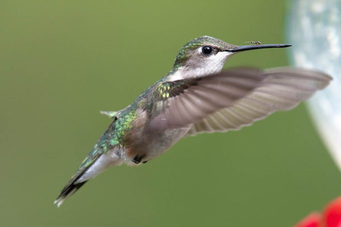 hummingbird with ant on bill