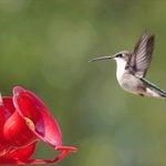 The Only Homemade Hummingbird Nectar Recipe You Need