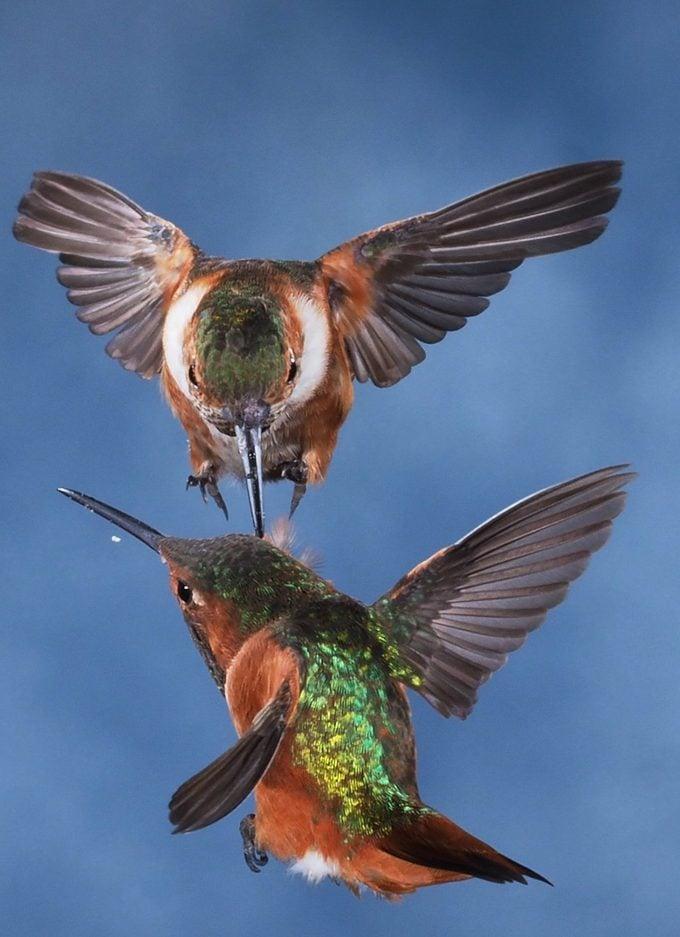 Allen's hummingbird behavior