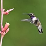 How to Identify Black-Chinned Hummingbirds