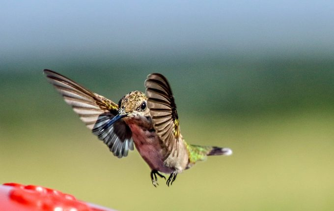 how fast do hummingbirds fly, wing speed