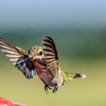 How Fast Do Hummingbirds Fly and Flap Their Wings?