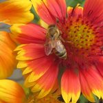 Apply to Sponsor-a-Hive to Help Native Bees