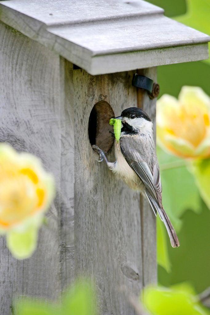 Carolina chickadee at nest box