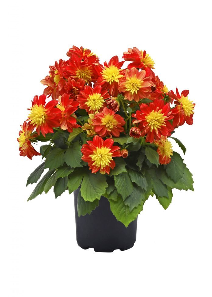 A pot of Dalaya Fireball dahlias shines with red and yellow flowers.