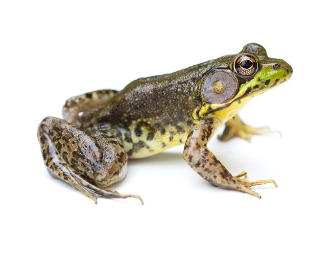 Green Frog On A White Background