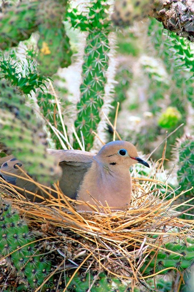 Mourning Dove (zenaida Macroura) Incubating Its Eggs