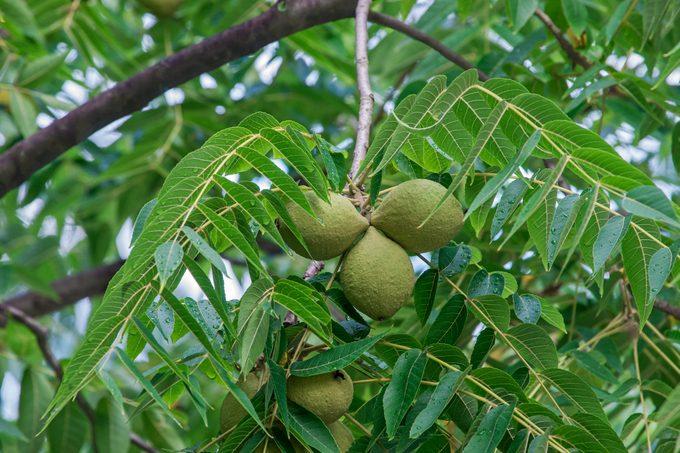 Eastern black walnut fruits