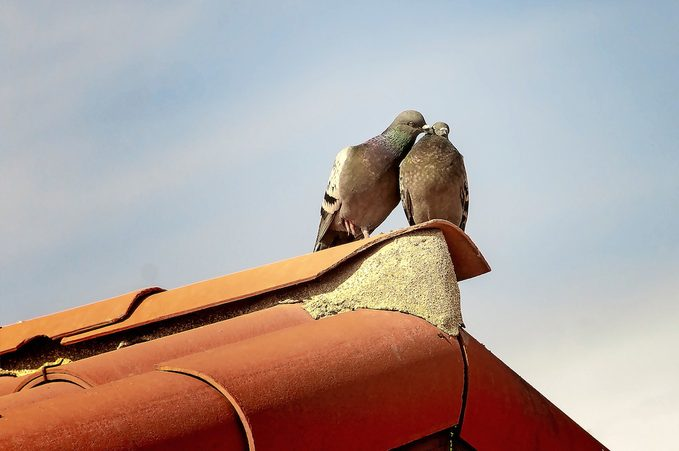 Loving pigeons cooing on tiled roof