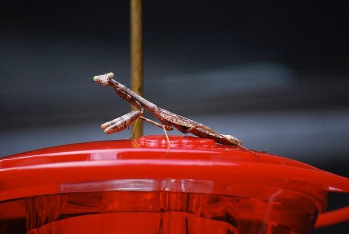 praying mantis on hummingbird feeder