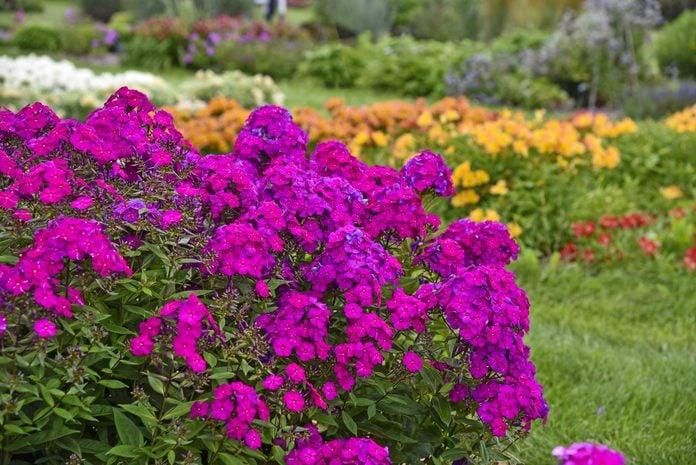 A grouping of bright purple Luminary Ultraviolet tall garden phlox.