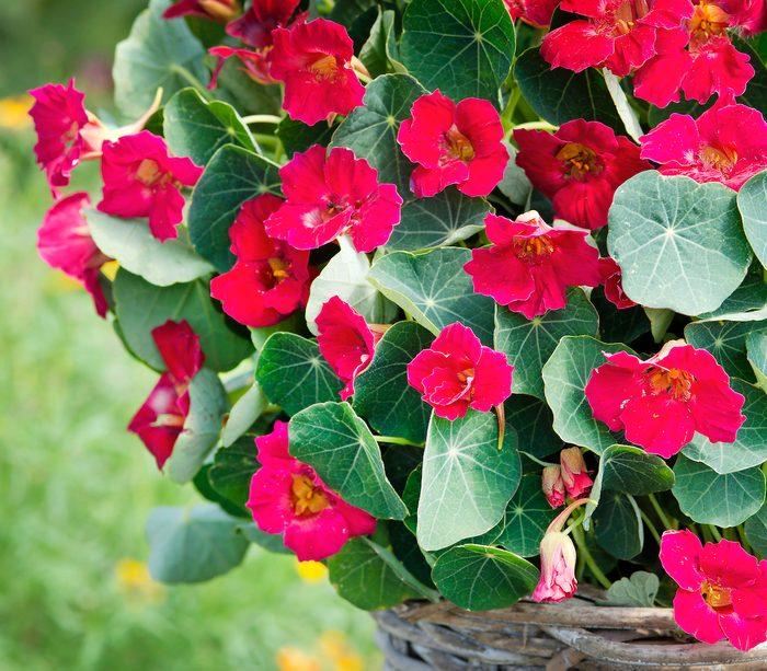 Nasturtium Baby Rose 1