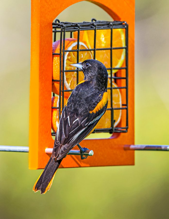 Baltimore oriole at orange feeder
