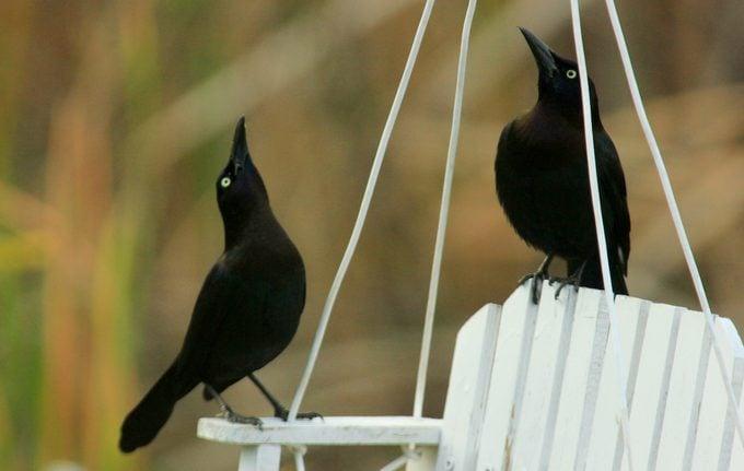 brewer's blackbirds, types of blackbirds