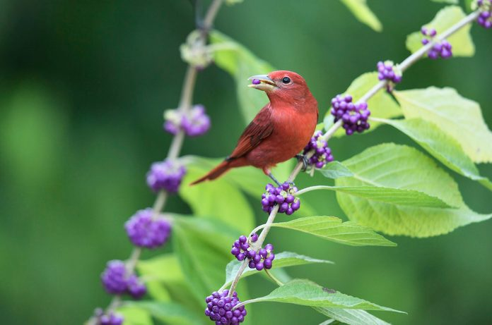 Summer tanager on beautyberry