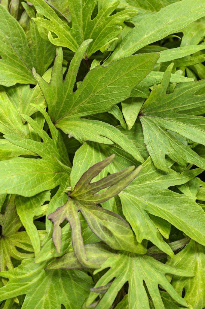 The light green leaves of Sweet Caroline Medusa Green sweet potato vine.