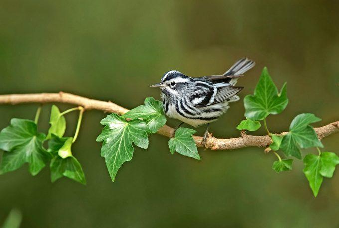 Black And White Warbler, Mniotilta Varia