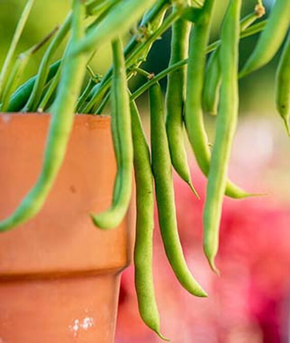 porch pick beans, fast growing vegetables
