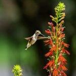Cardinal Flower Attracts Butterflies and Hummingbirds
