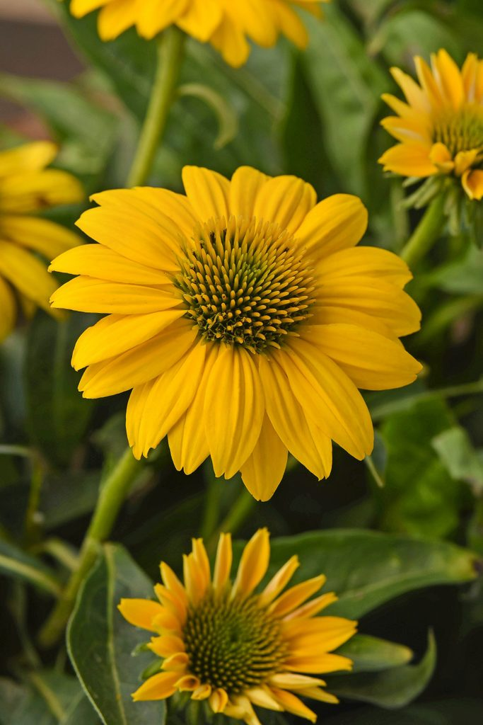 Sombrero Poco yellow coneflower blooms.