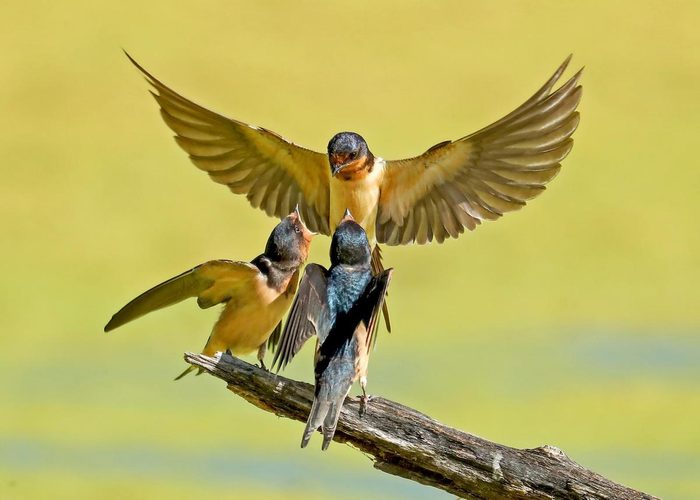 Family of barn swallows