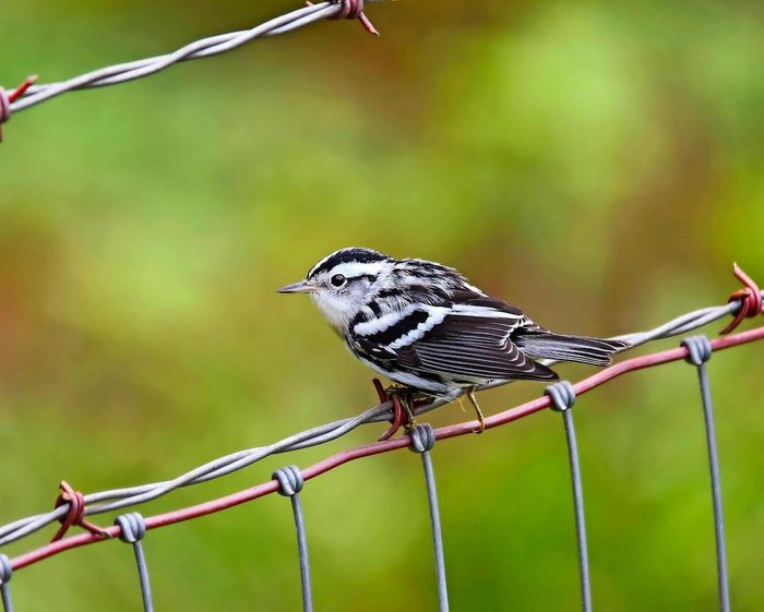 Black-and-white warbler on a wire fence