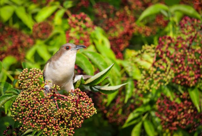 Black-billed cuckoo on elderberry plant