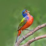 6 Beautiful Bunting Birds You Should Know
